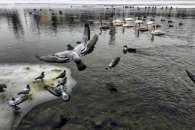 Ужгородським лебедям та качкам морози не страшні