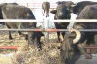 """П'ять """"убивчих"""" аргументів, щоб відвідати ферму буйволів на Закарпатті"""
