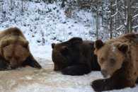 Ведмедицю з зоозони Дніпра відвезуть на Синевир