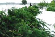 Закарпатські лісівники цьогоріч зрубали більше семи тисяч новорічних ялинок