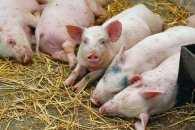 На Кропивниччині у свиней виявили африканську чуму