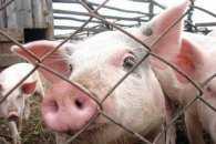 Білорусам заборонили їсти закарпатську свинину