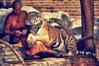 У Таїланді знають, як приручити тигрів