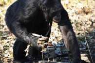 Як мавпа здивувала всіх вмінням розпалювати багаття і готувати їжу