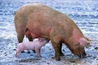 На Полтавщині стався новий спалах африканської чуми свиней