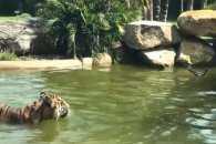Як качка-провокатор задражнила тигра