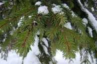 В Ужгороді новорічні ялинки використають на добриво