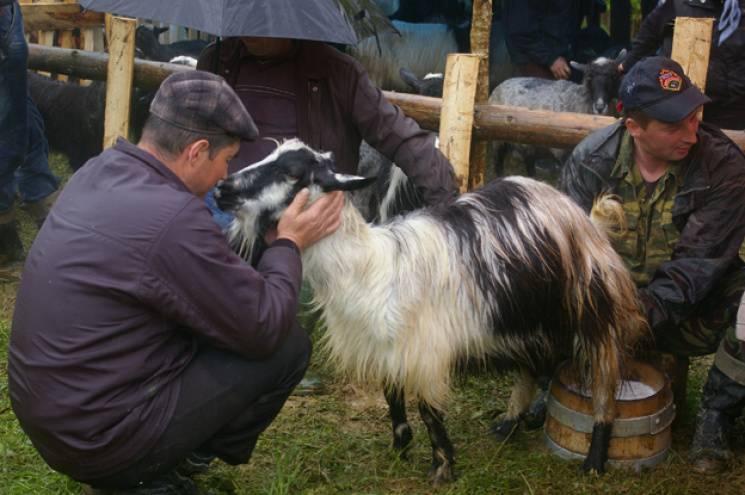 Проводы на полонину: Как в Карпатах хранят колоритные традиции овцеводства|В дороге - сайт о путешествиях и приключениях