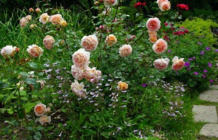 Кияни по-царськи ходять на побачення: з клумби викрали 500 кущів троянд (ФОТО)