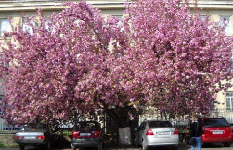 Японська вишня зацвіла на ужгородських вулицях (ФОТОФАКТ)