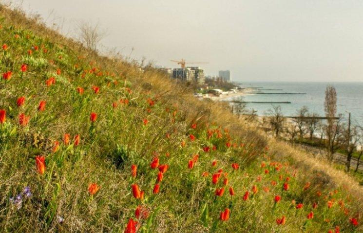 В Одесі зацвіли червонокнижні квіти (ФОТО)