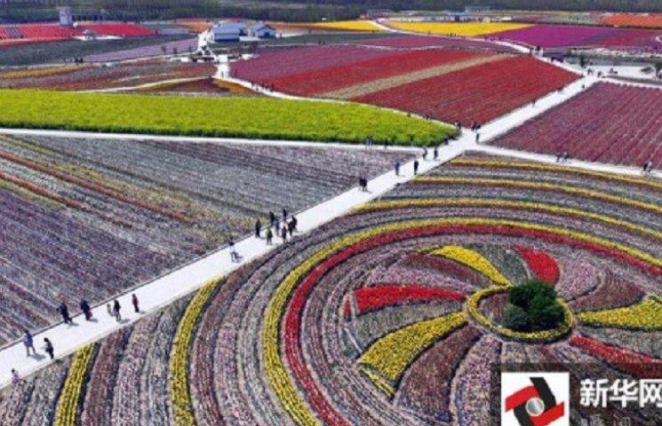 У Китаї розквітли мільйони тюльпанів