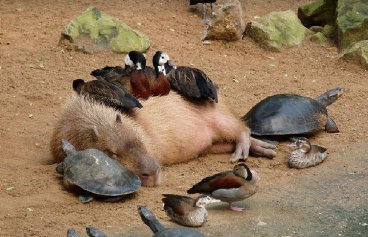 Как животные обожают забавных капибар