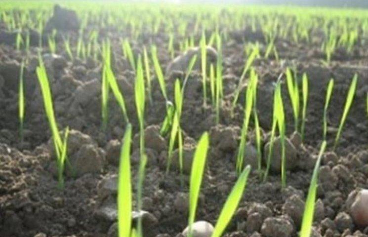 Миколаївські аграрії звітують про гарний стан озимих