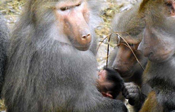 В зоопарку Бердянська у родини павіанів народився малюк