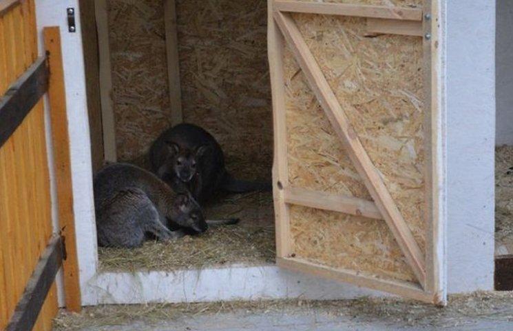 Вінницький зоодворик поповнився двома карликовими кенуру