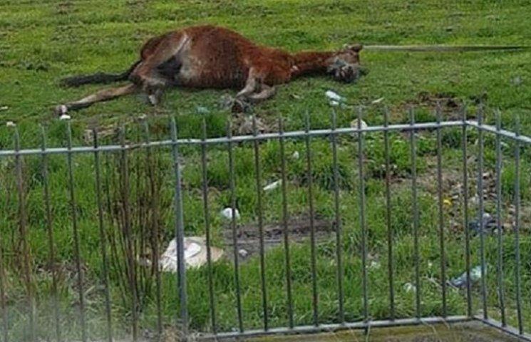 Як в Ірландії коня заїздили до смерті та викинули в полі