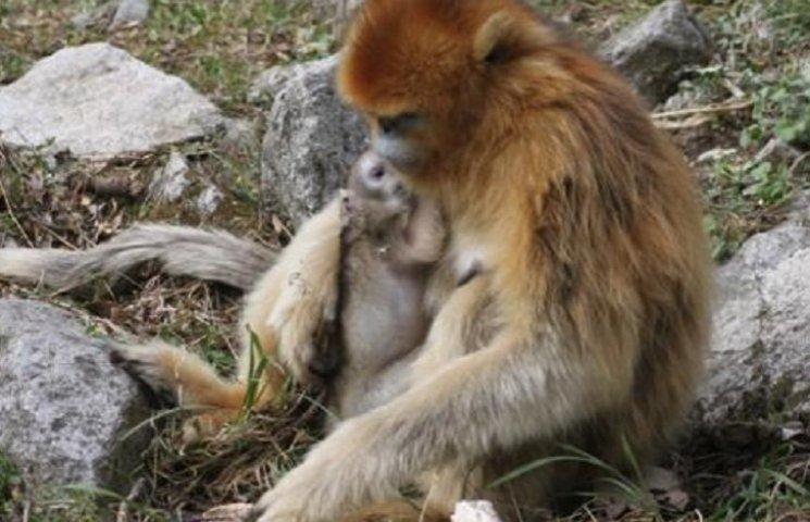 Как самцы обезьян принимают роды у своих жен