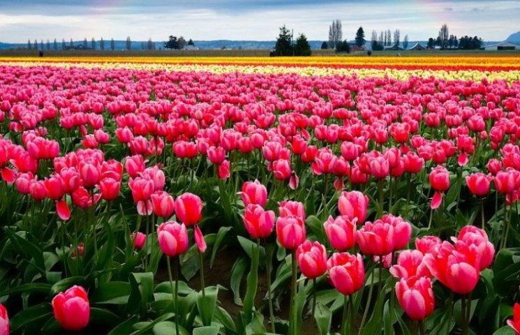 Помилуватися буковинськими тюльпанами можна ще кілька днів