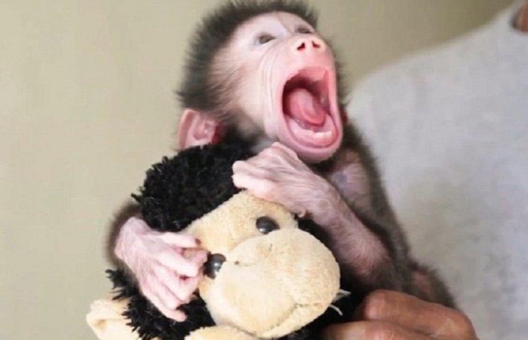 Як маленький бабуїн, якого покинула мати, пестить іграшку