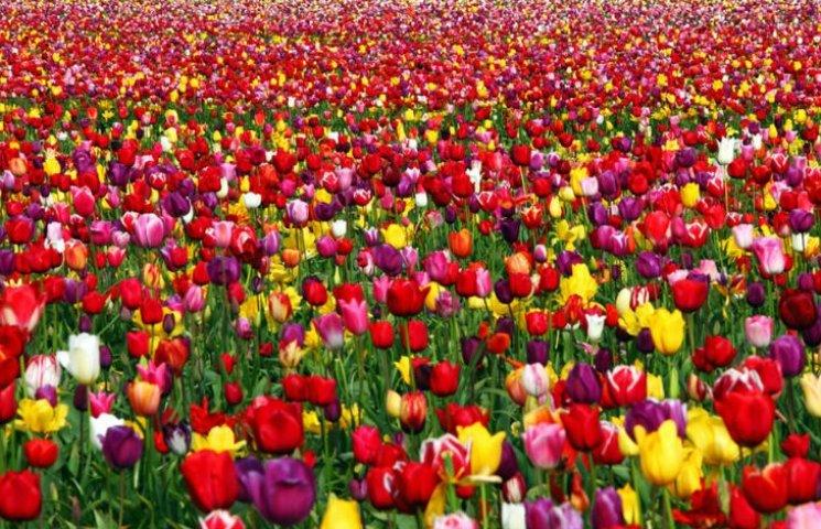 """""""Квітучі ріки"""": виставка тюльпанів у Киє…"""