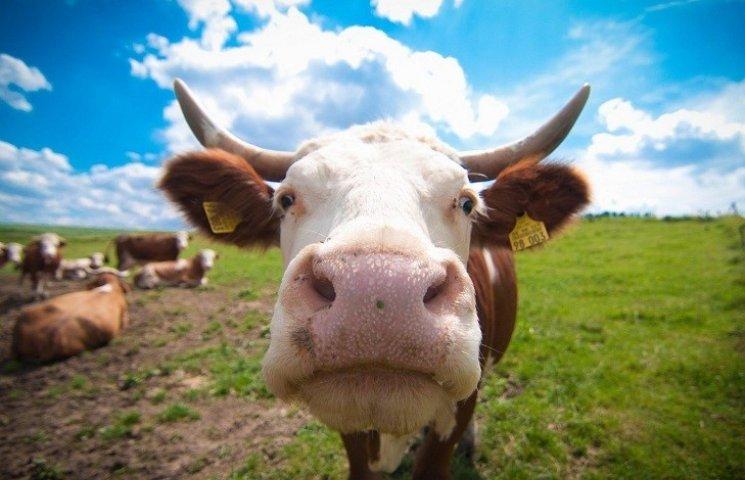 Вінничанин отримав сапою в живіт, захищаючи корову