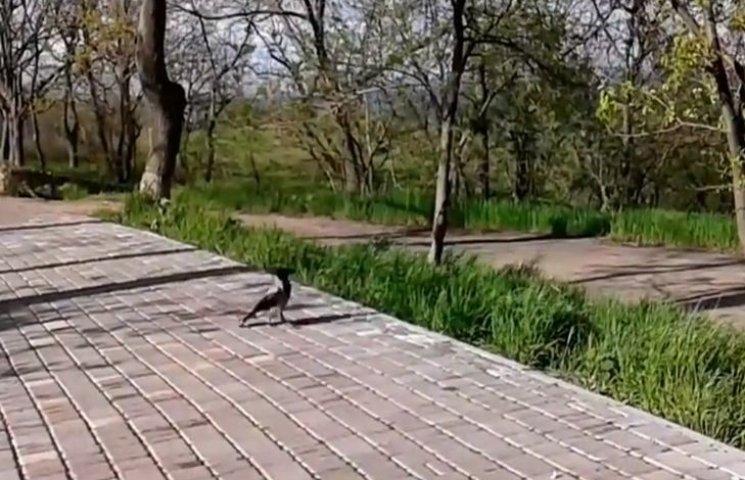 Кумедне відео з одеською вороною підірвало соцмережі