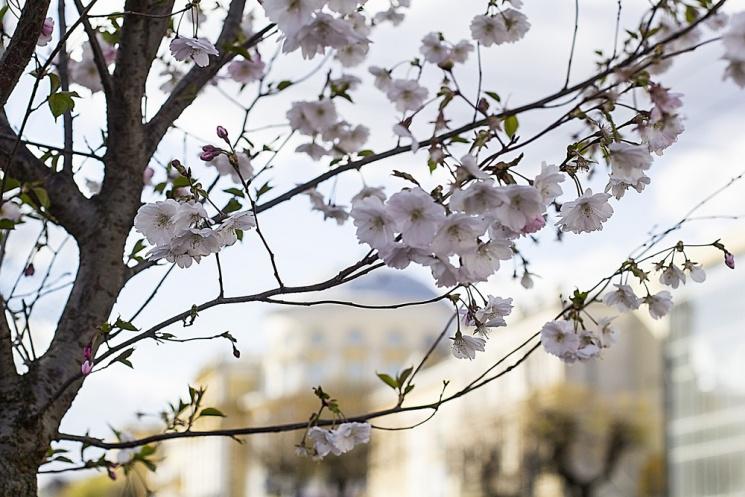 Як у Вінниці буяють цвітом східні дерева…