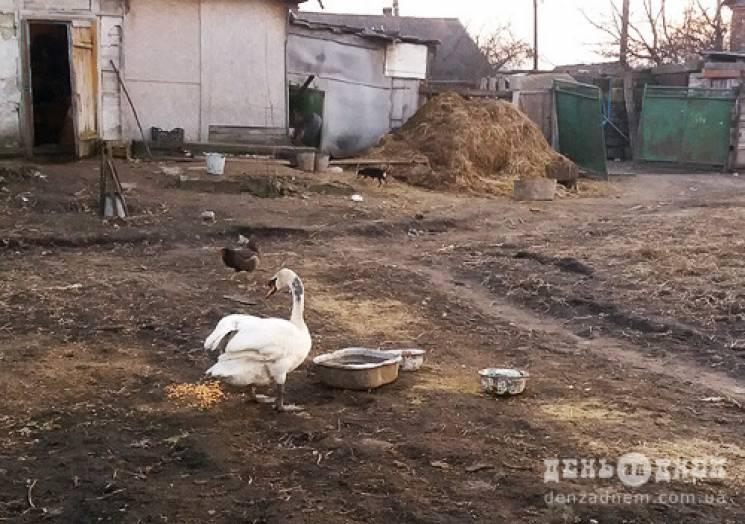 """Гидке каченя"": На Хмельниччині до госпо…"