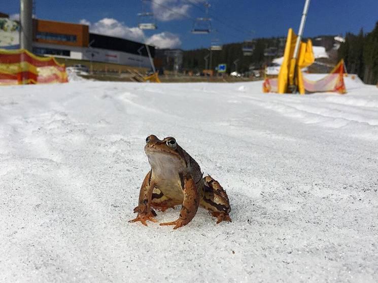 """Як на карпатському курорті жаби в снігу """"відчувають"""" весну (ФОТО)"""