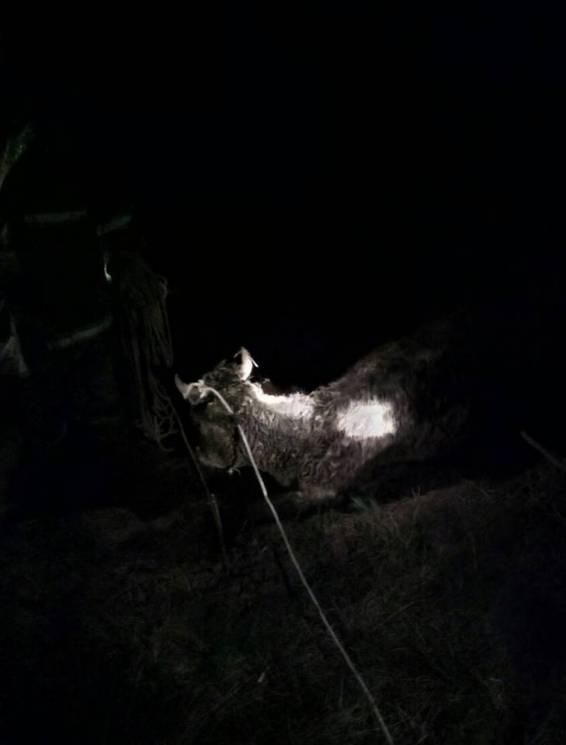 На Одещині врятували корову, яка впала до яру (ФОТО)