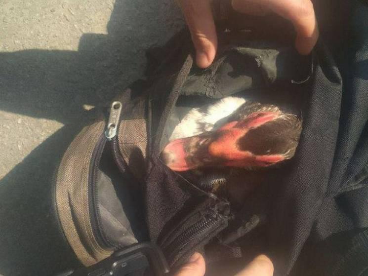 """Кременчуцькі копи затримали """"гламурного"""" крадія з качкою у сумці (ФОТО)"""