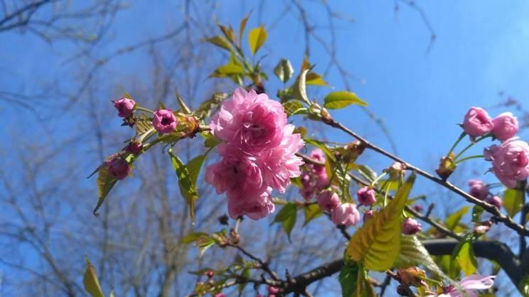 Де в Ужгороді туристам шукати квітучі сакури (КАРТА)