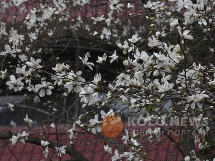Нарешті весна: У Полтаві заквітла магнолія (ФОТО)