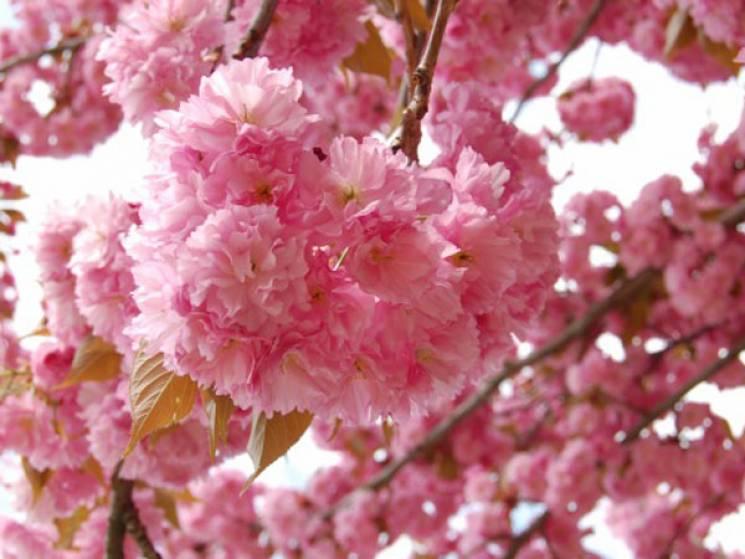 """У Мукачеві влаштують """"сакуровий"""" велозаїзд в рожевому одязі"""