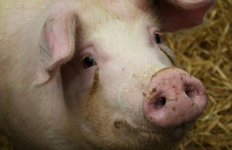 На Полтавщину завезли свиней із африканською чумою