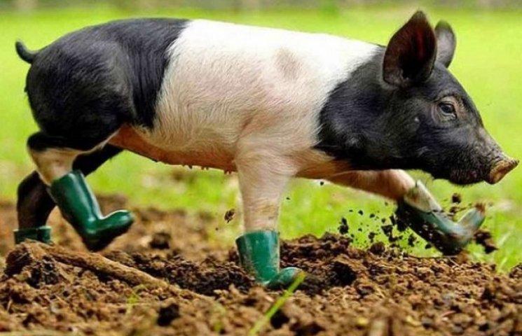У Миргороді немає свиней, хворих на африканську чуму