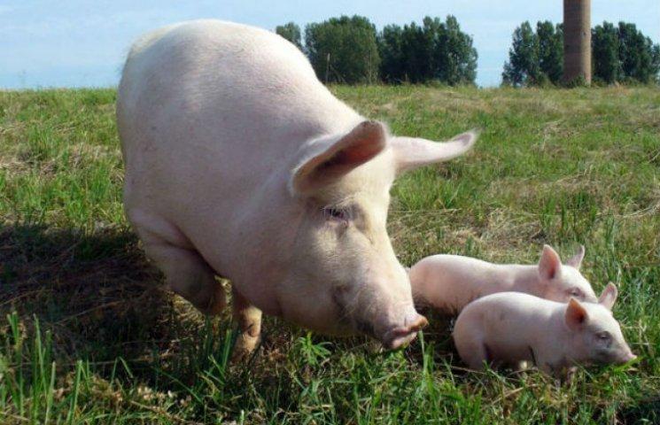 На Полтавщині знищуватимуть свиней хворих на африканську чуму