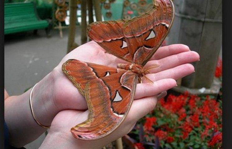 """У Дніпропетровську """"штучно"""" вивели чи не найбільшого метелика у світі"""