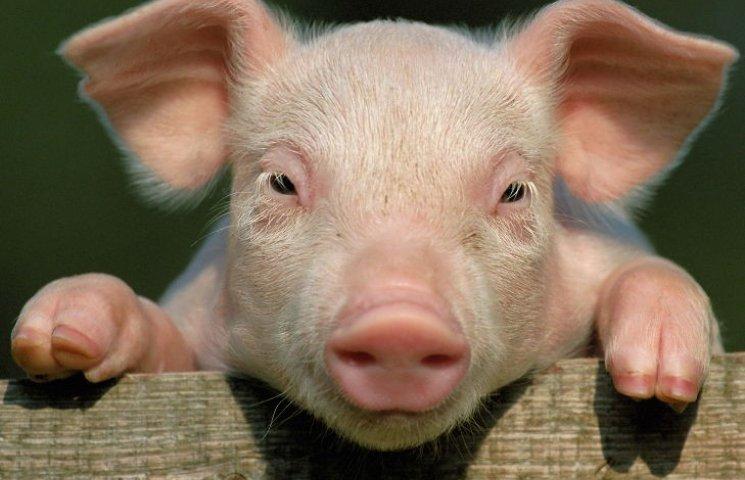Яку свиню готує міськрада меру Кропивницького