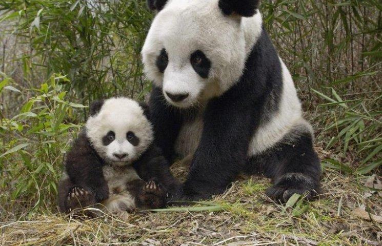 У Китаї за 40 днів народилися десять пар панд-близнюків