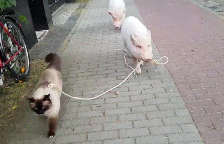 Як свині вигулювали кота
