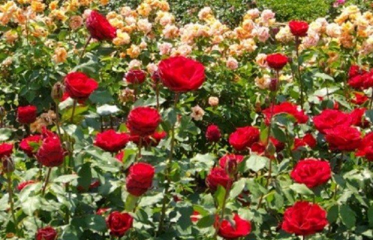 Хмельницькі патрульні затримали двох осіб, які зривали троянди