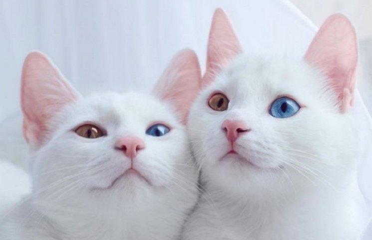 Самые красивые кошки-близнецы с гетерохромией стали звездами Instagram