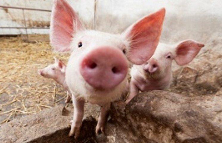 В Николаеве должны забить 153 свиньи, которые находятся в зоне поражения африканской чумы