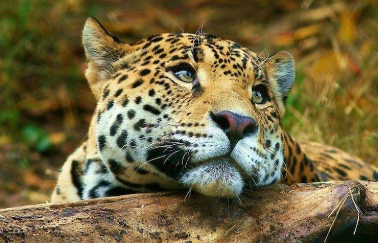 Як рятувальники леопарда з колодязя витягували