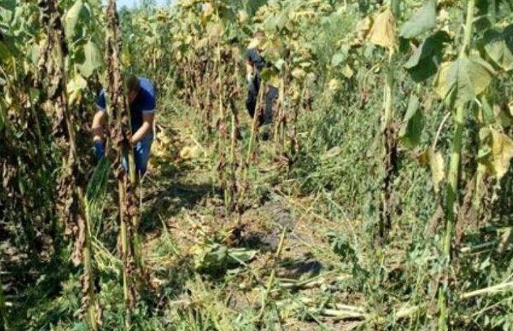 На Миколаївщині між рядками соняшника виростили цілу плантацію коноплі