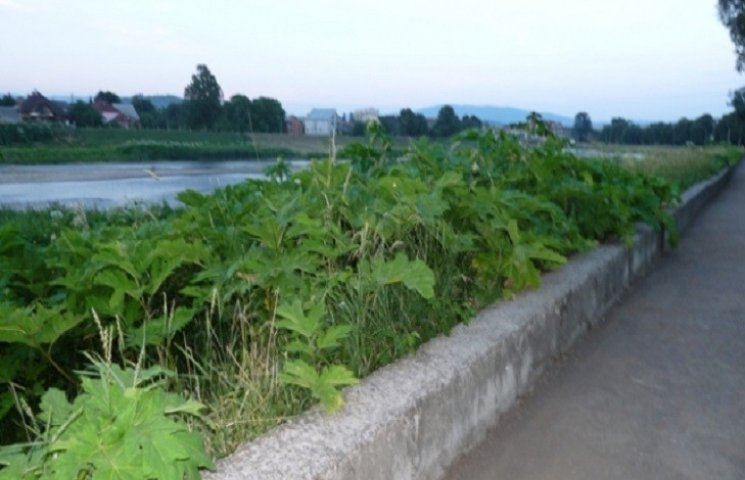 """Петиція """"Знешкодження отруйної рослини - борщовика"""" набрала 501 голос"""