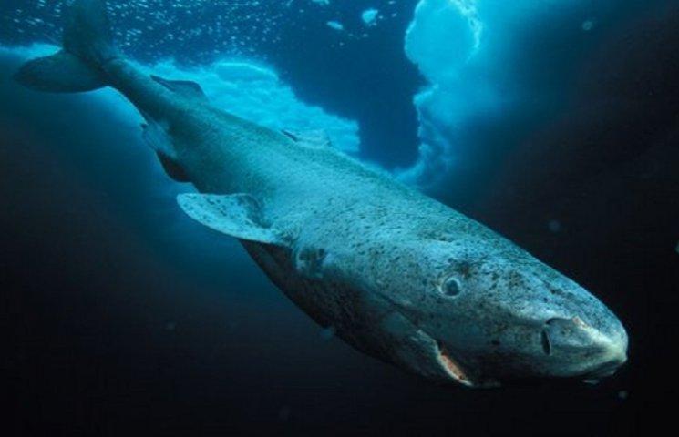 400-річна акула стала найстарішою твариною у світі