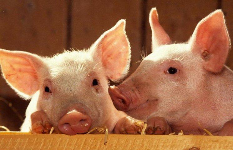 В Голій Пристані буде проведено подвірний обхід для перепису поголів'я свиней